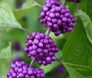 Vivid violet bunches of beautyberries