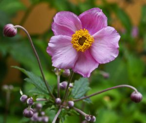 Pretty soft pink japanese anemone